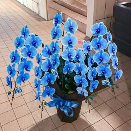 ブルー胡蝶蘭5本立ち