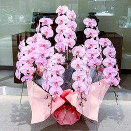 豪華ピンク胡蝶蘭7本立ち