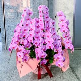 豪華ピンク胡蝶蘭8本立ち