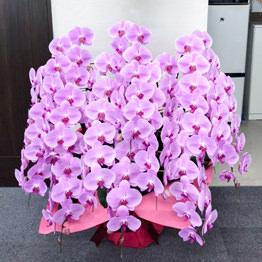 豪華ピンク胡蝶蘭10本立ち